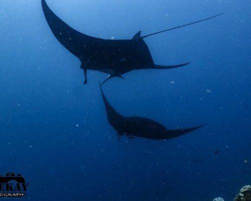Daku Resort - Manta Ray Diving - Jean Michel-Cousteau Dive