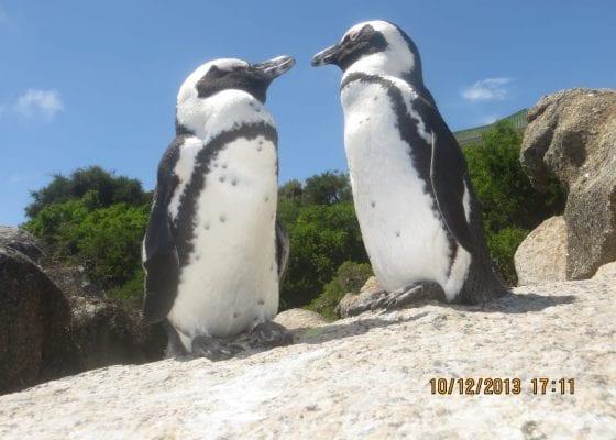 Penguins - Cape Town