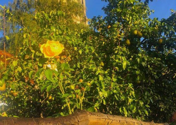 Glastonbury Church and Rose