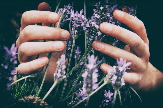 Hands holding lavender flowers